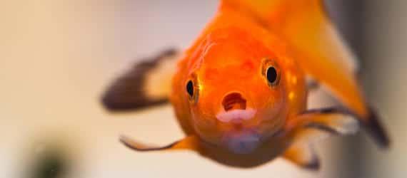 memoire-poisson-rouge