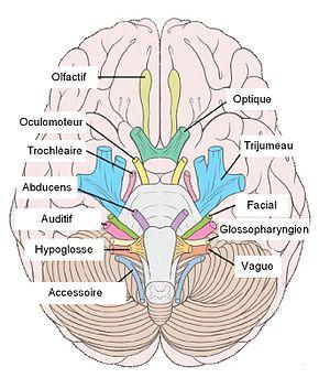 mémoriser les nerfs craniens